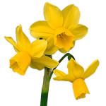daffodil-clip-art1